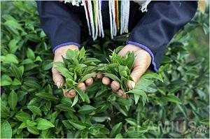 производство белого чая