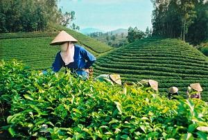 калории зеленого чая